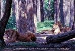 Löwen Safari  04