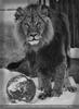 Löwen Schneeball