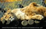 Löwen Umarmung