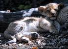Löwenbabies 01