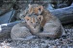 Löwenbabies 09