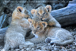 Löwenbabies 10