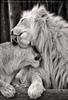 Löwenpaar 06