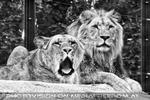Löwenpaar 2