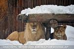 Löwenpaar im Schnee