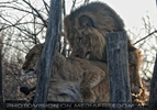 Löwenpaar Liebe