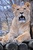 Löwenrudel 10