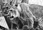 Löwenrudel 13