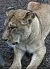 Löwenrudel 14