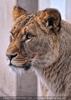 Löwin 1