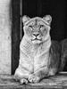Löwin 3