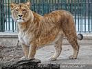 Löwin Anblick
