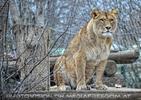 Löwin Ausguck