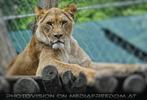 Löwin Blick