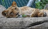 Löwin döst
