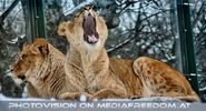 Löwin gähne