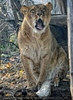 Löwin gähnt