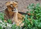 Löwin im Dickicht