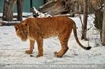 Löwin im Schnee 1