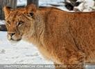 Löwin im Schnee 2