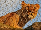Löwin lugt