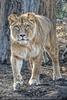 Löwin schleicht sich an
