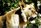 Löwin späht