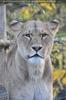 Löwenmama ist auf der Hut