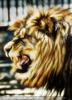 Mächtiges Löwengebrüll