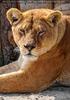 Mit den Löwen 01