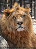 Mit den Löwen 02