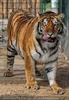 Mit den Tigern 12