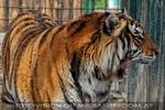 Mit den Tigern 13