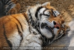 Mit den Tigern 16