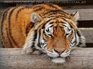 Mit den Tigern 21