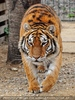 Mit den Tigern 33