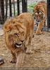 Mit Löwen und Tiger 01