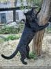 Panther Spiel