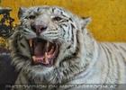 Pfauchender weißer Tiger