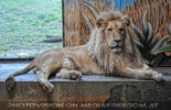 Prächtiger beiger Löwe