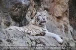 Proud white tiger