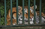 Aufgepasst Tiger