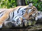 Sibirischer Tiger döst