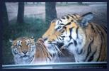 Tigergeleit