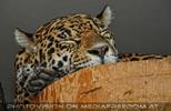 Schlafender Jaguar