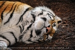 Schlafender Tiger 2