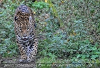 Schleichende Jaguardame
