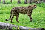 Schleichender Gepard