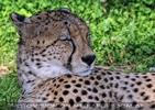 Schlummernder Gepard