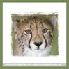 Gepard Blick